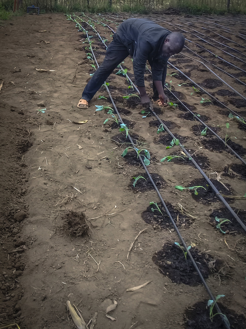 Josphat sets the hoses for drip irrigation at NECC