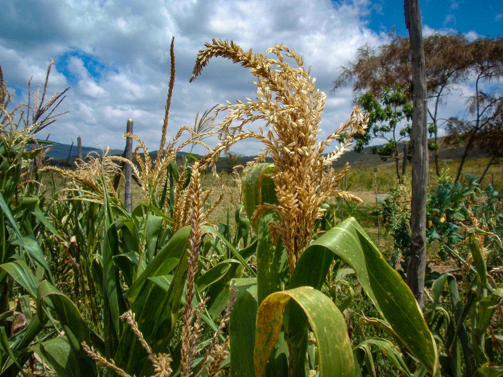 Amazing maize