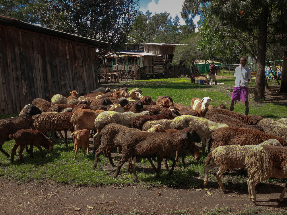 36 sheep and 5 goats in the compound