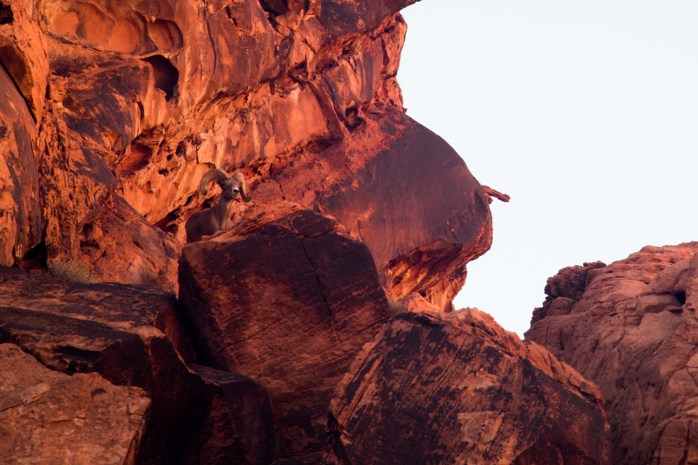 The brilliant red rocks light up in the desert sun. A majestic bighorn sheep looks out toward the valley.Photo: Trey Takahashi