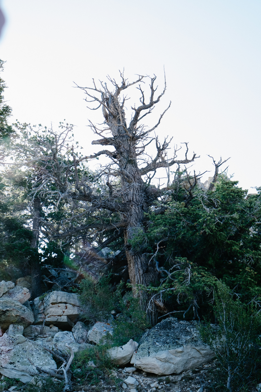 Age old bristlecone pines are scattered about the park, something the Great Basin is famous for