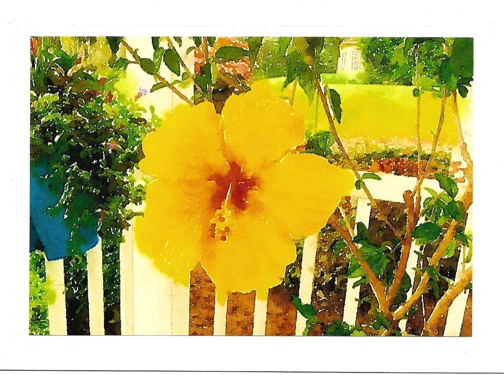 Hibiscus -