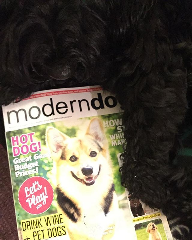 My copy of #moderndog arrived today and for a moment I thought my buddy @oshiecorgi was on th cover. #corgionthecover #dogfriends