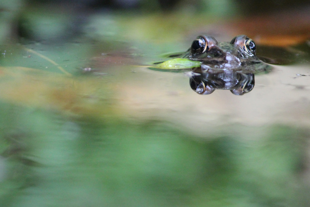 Froggy Reflection