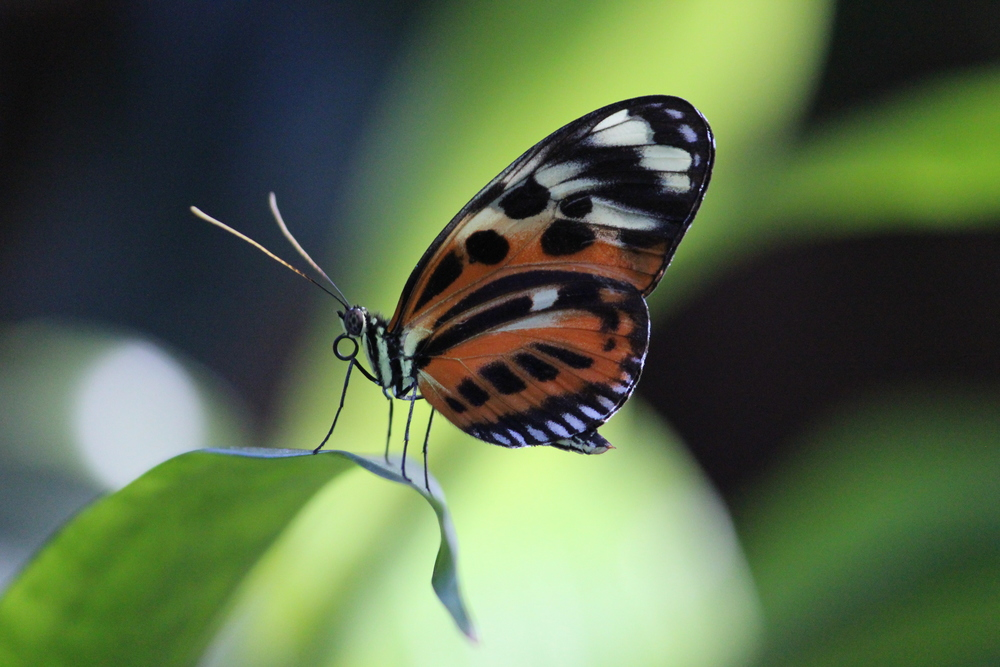 Tiger-striped long wing butterfly