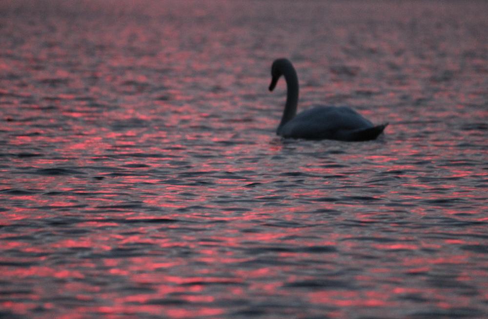 A Swan's Dream