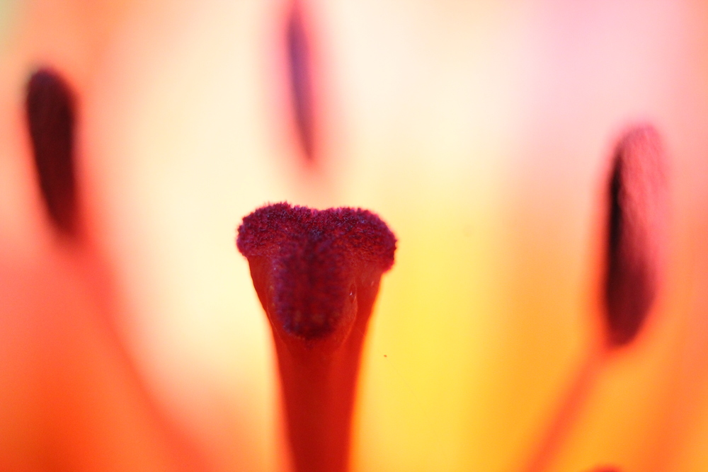 Macro Lily