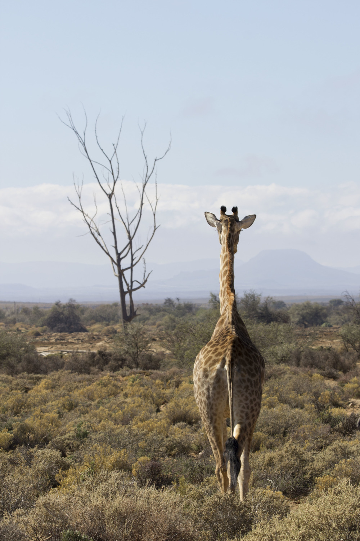 Female Giraffe 2