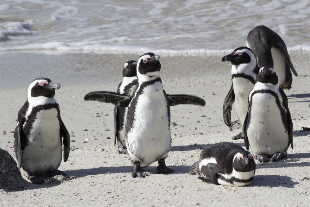 Penguin 1