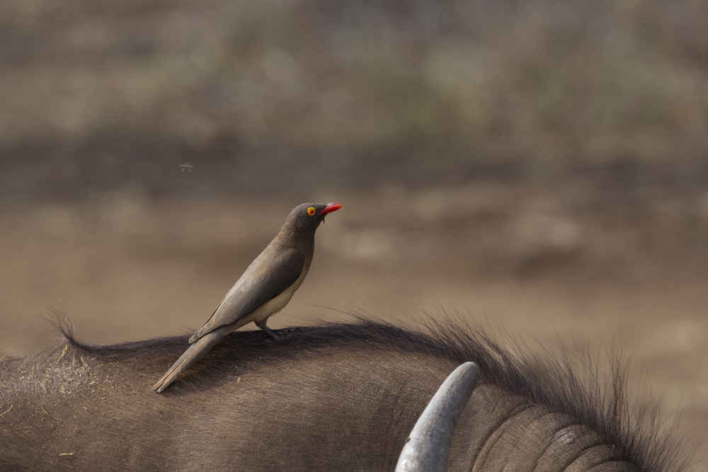 Oxpecker on Buffalo