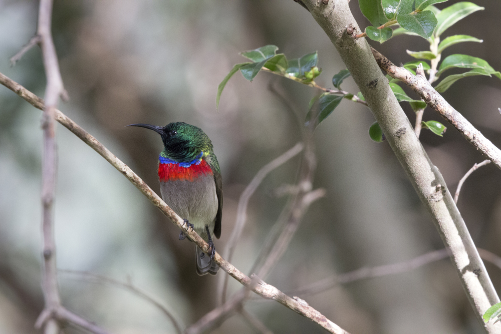 Male Sunbird 1