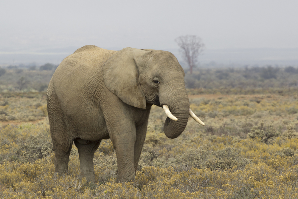 Young Male Elephant