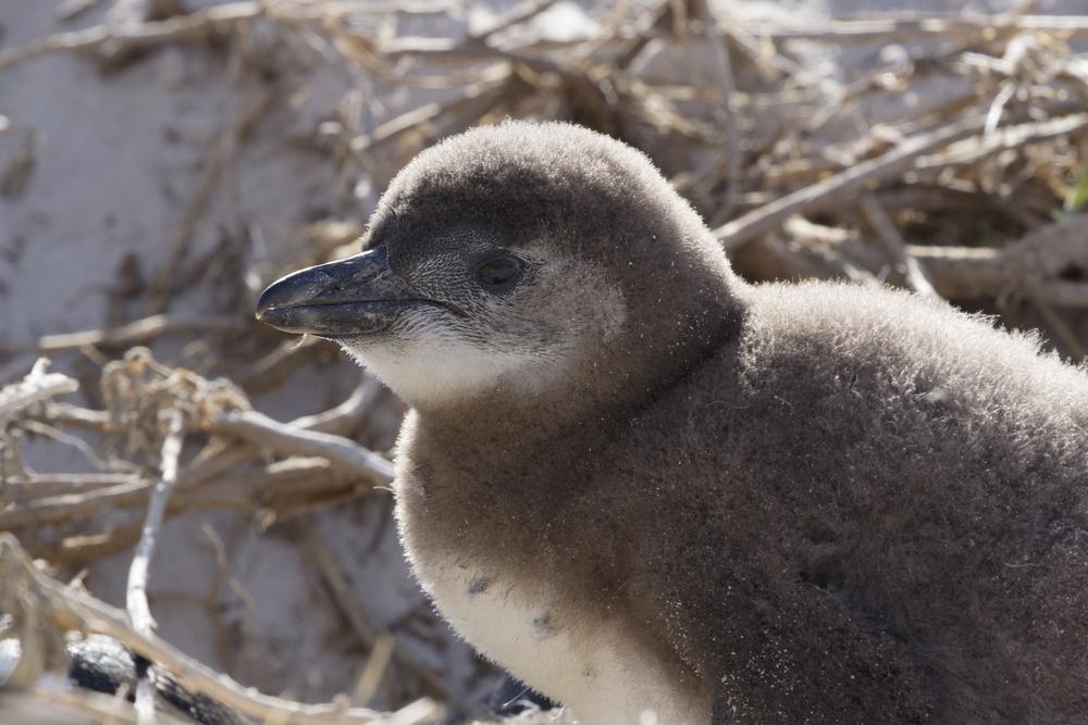 Baby African Penguin