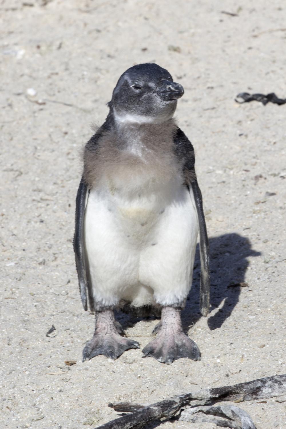 African Penguin 4