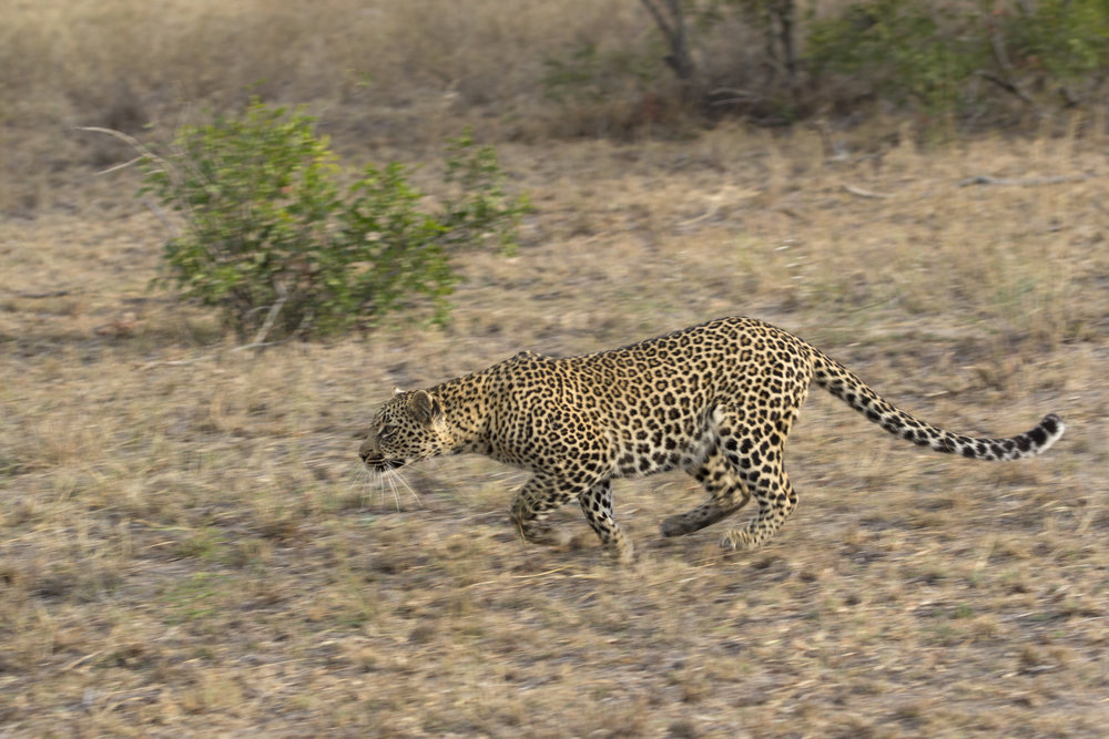 Leopard Hunting IMG_6857.jpg