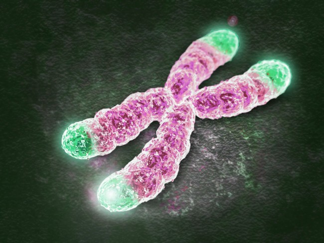 Artistic view of telomeres on  a metaphase chromosome