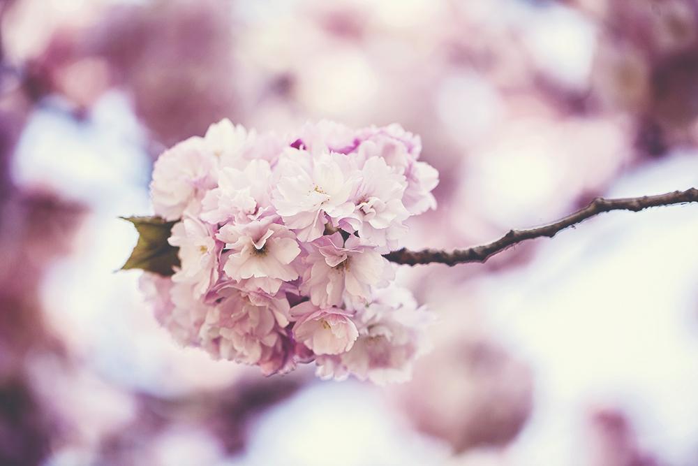Some more Sakura flowers.