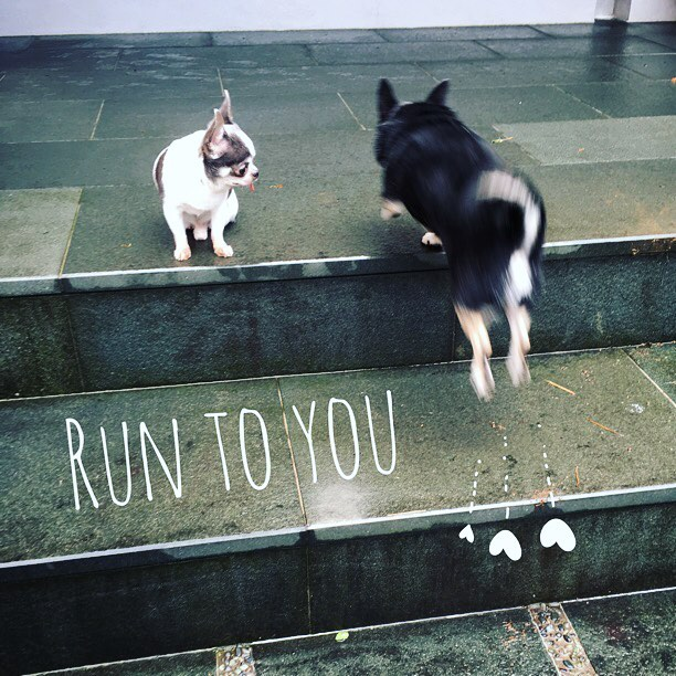 #chihuahuas #runtoyou #missyou #love #instachihuahua #instadog #instalove