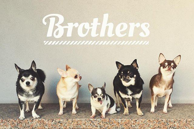 やっと撮れた#集合写真  #chihuahuas #smoothchihuahua #brothers #dogsofinstagram #friendsforever