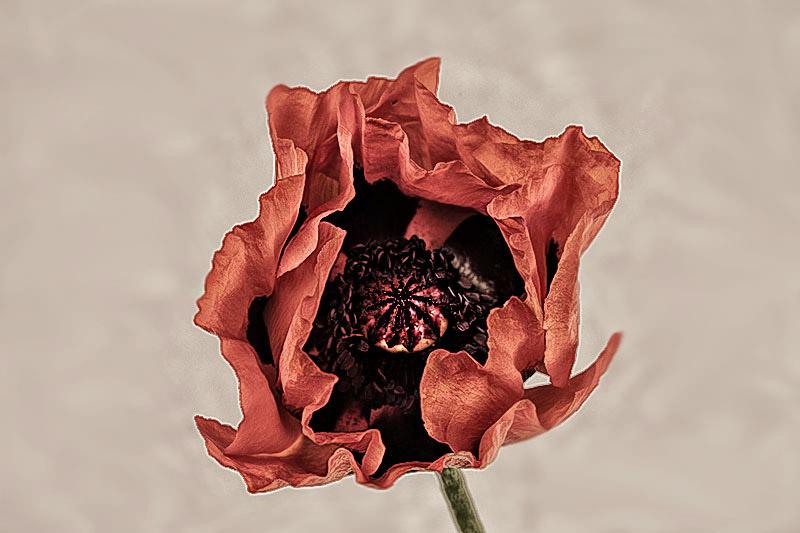 poppyblog.jpg