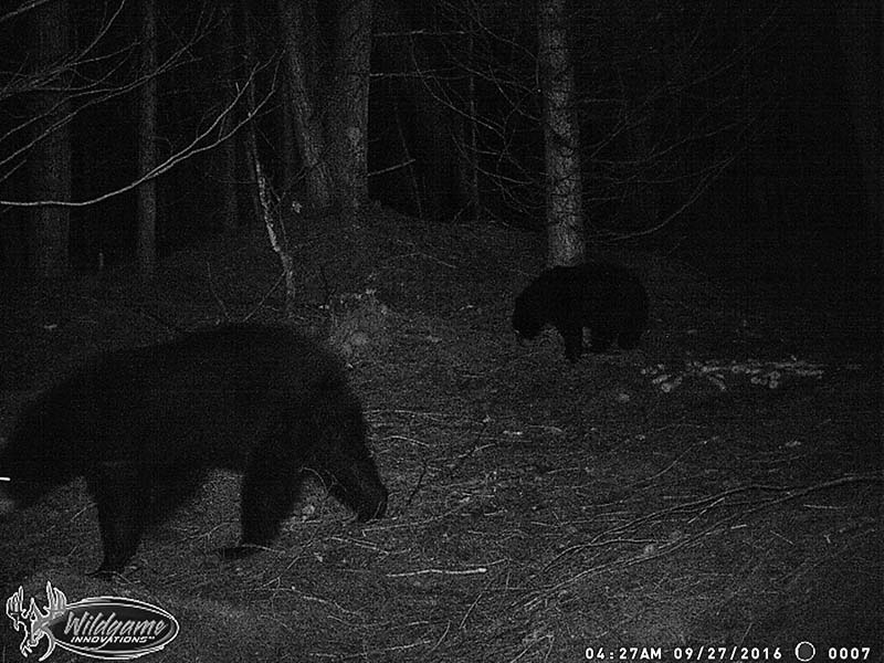 Sow with Yearling