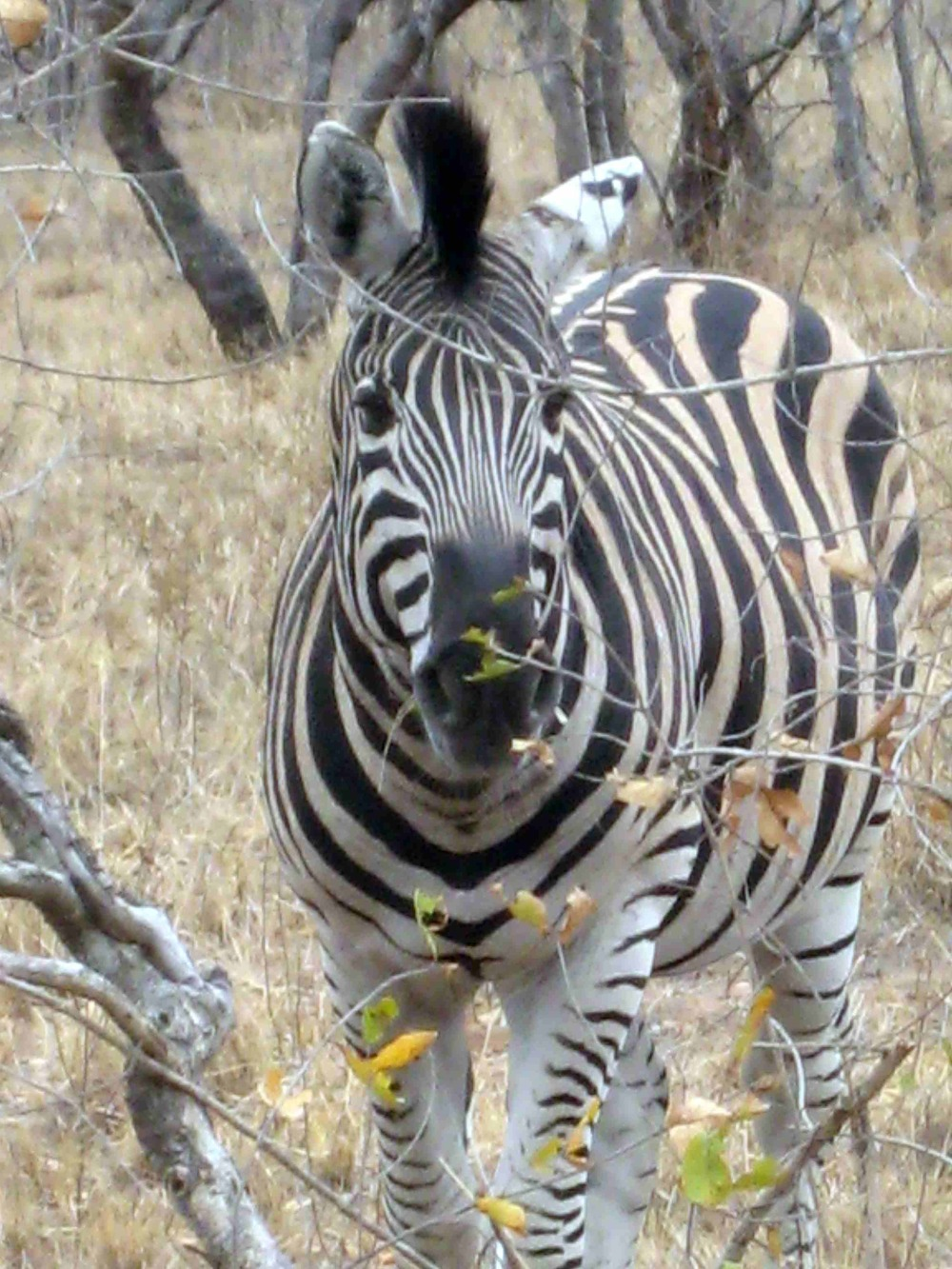A zebra that came up to our car as we were driving through Kruger National Park in South Africa
