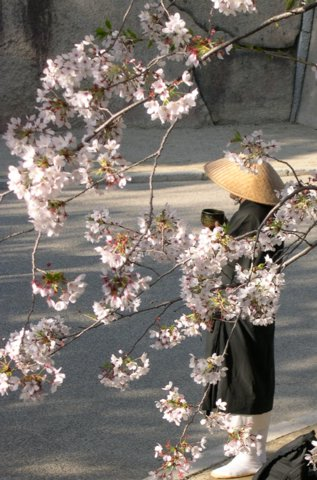 Monk seen through cherry blossoms in Osaka, Japan