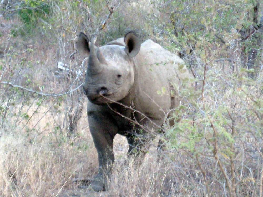 We were lucky to see the very rare Black Rhinocerous in Kruger National Park, South Africa