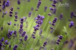 Lady Lavender 1.