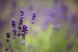 Lady Lavender 2.
