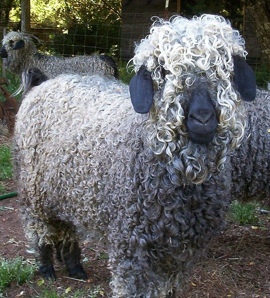 Colored_Angora_Goat.jpg