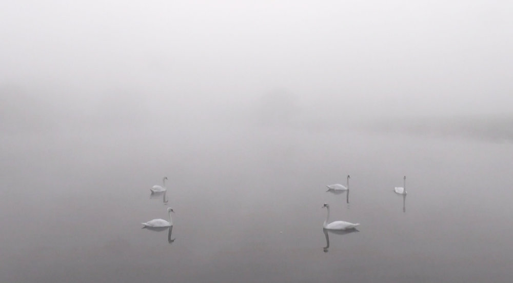 swans for thing.jpg
