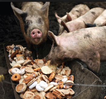 Apparently pigs love treats, especially sugar-coated doughnuts.