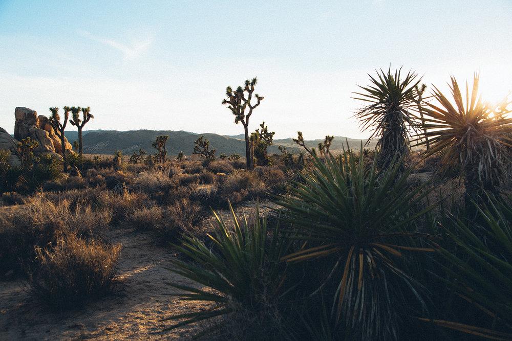 Joshua Tree National Park  //    Photo - Daniel Barbato