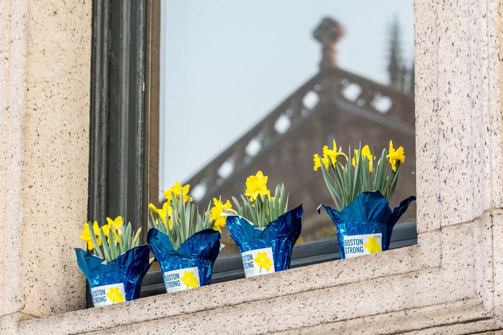 Boston Strong Daffodils line Boylston Street for the Boston Marathon