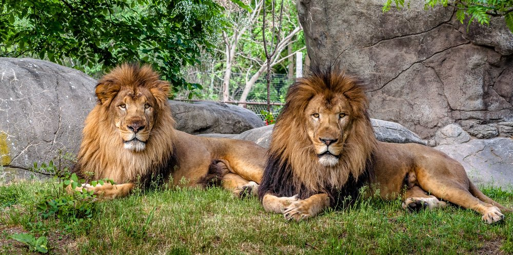 Lion Brothers - Franklin Park Zoo.jpg