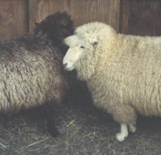 Sheep & Wool