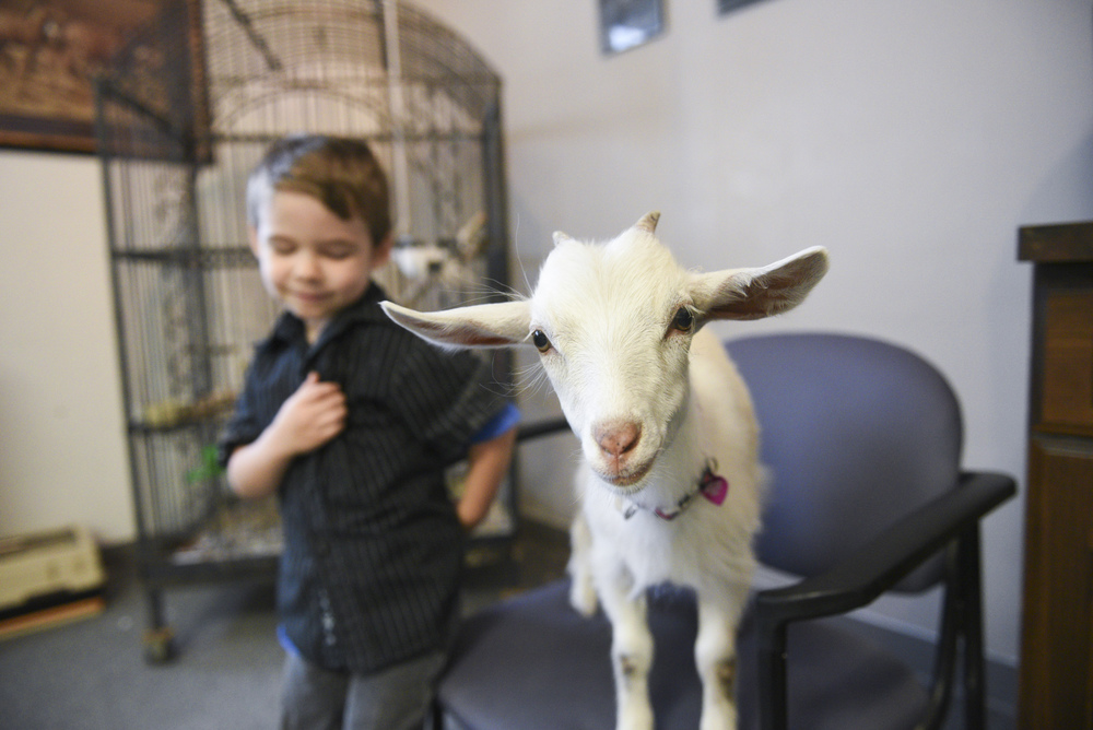 Paul Roger's 4 year old son, Alexander Rogers, left, plays with their 10 week old micro-pygme goat, Reina, in the lobby at Paradise Ranch in Las Vegas, Monday, June 1, 2015. Reina is being trained to be a therapy goat. (Jason Ogulnik/Las Vegas Review-Journal)