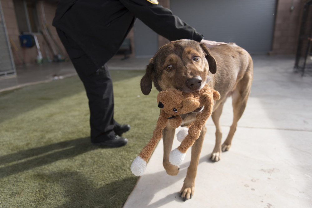 "Animal control officer A.J. Brooks plays with ""Rocky"" in the yard at the Boulder City Animal Control Shelter in Boulder City Thursday, Dec. 10, 2015. Jason Ogulnik/Las Vegas Review-Journal"