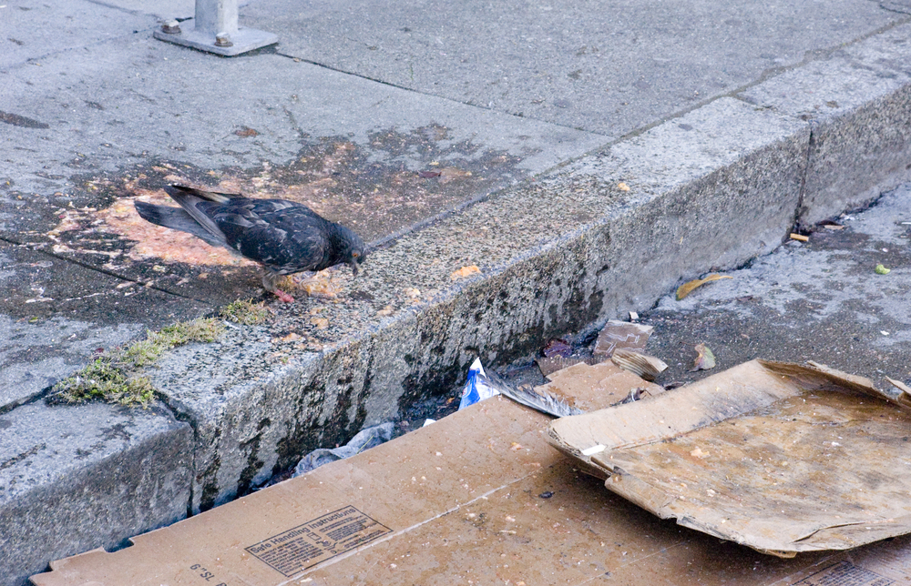 A pigeon finds their lunch after someone loses their lunch in San Francisco's Tenderloin neighborhood Sunday, Aug. 14, 2011.
