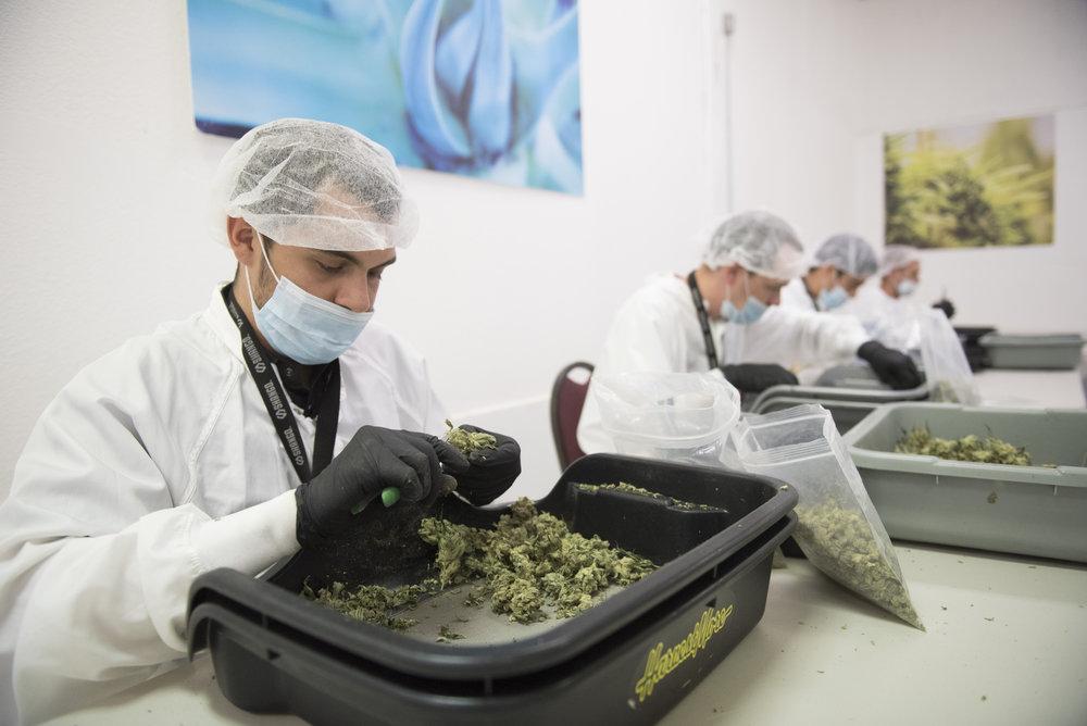 Shango cannabis dispensary employees trim marijuana buds in Shango's grow facility in Las Vegas, Nev. on July 28, 2017.