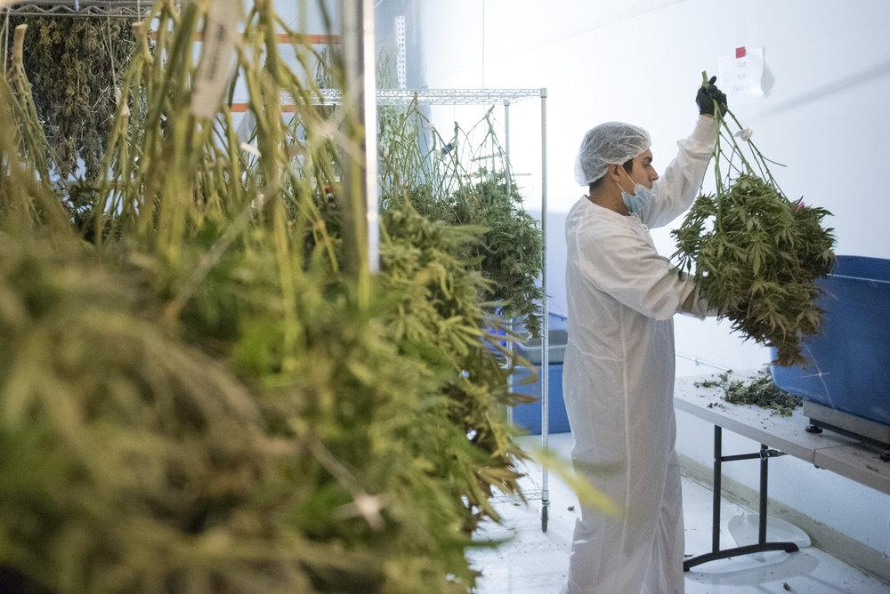 Shango cannabis dispensary employee Ricardo Avila-Guerrero places marijuana onto a scale at the dispensary's grow facility in Las Vegas, Nev., July 28, 2017.