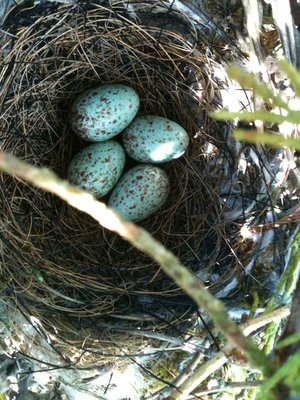 The Speckled, Eggshell Blue colored eggs - from a Northern Mocking Bird.  Photo via: Jacui Paredi