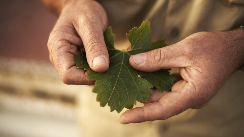 viticulturist with leaf !.JPG