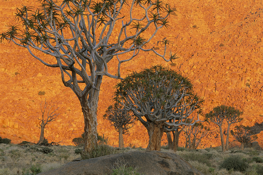 Quiver Trees, South Africa /  lanting.com