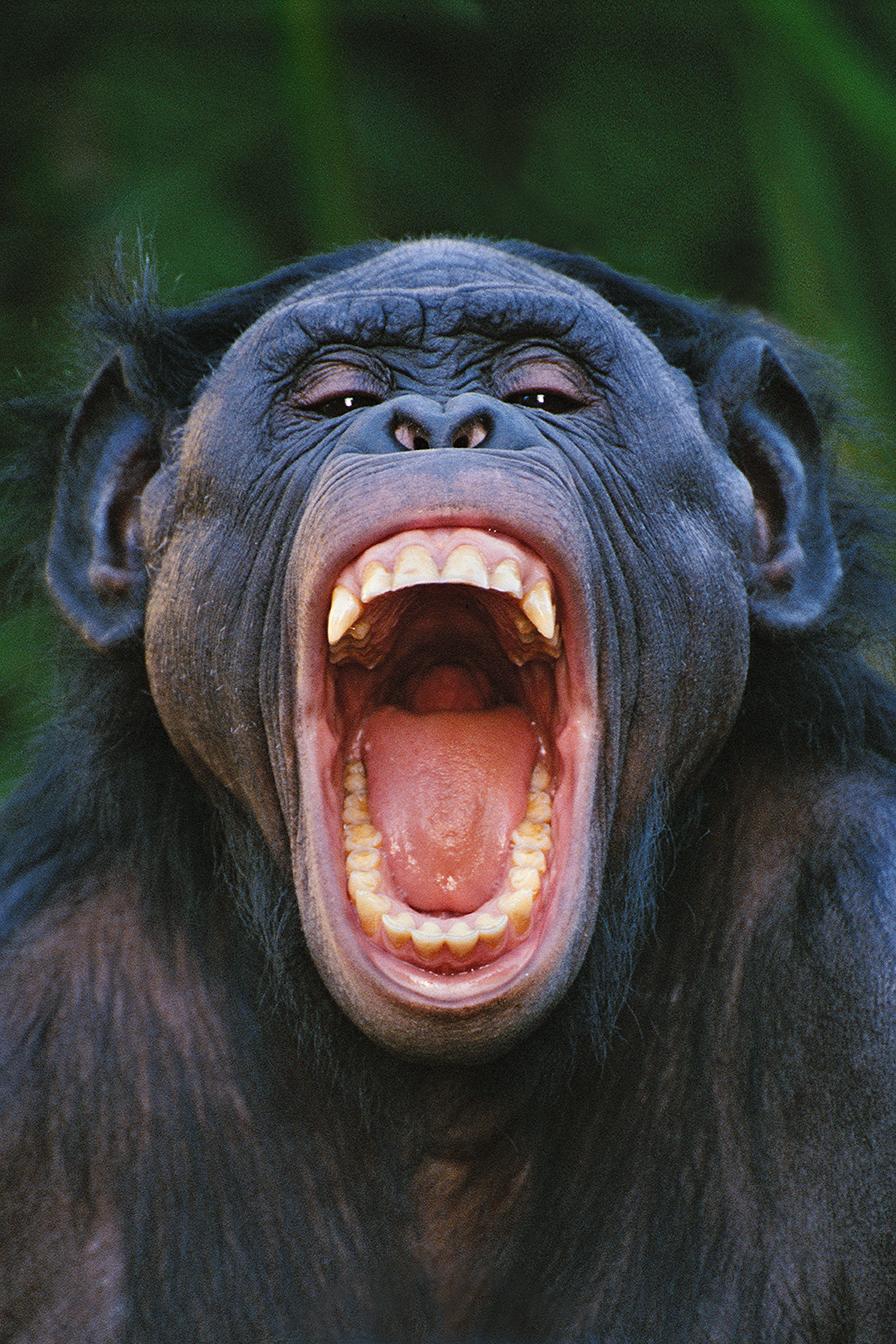 Bonobo grimacing, Congo /  lanting.com