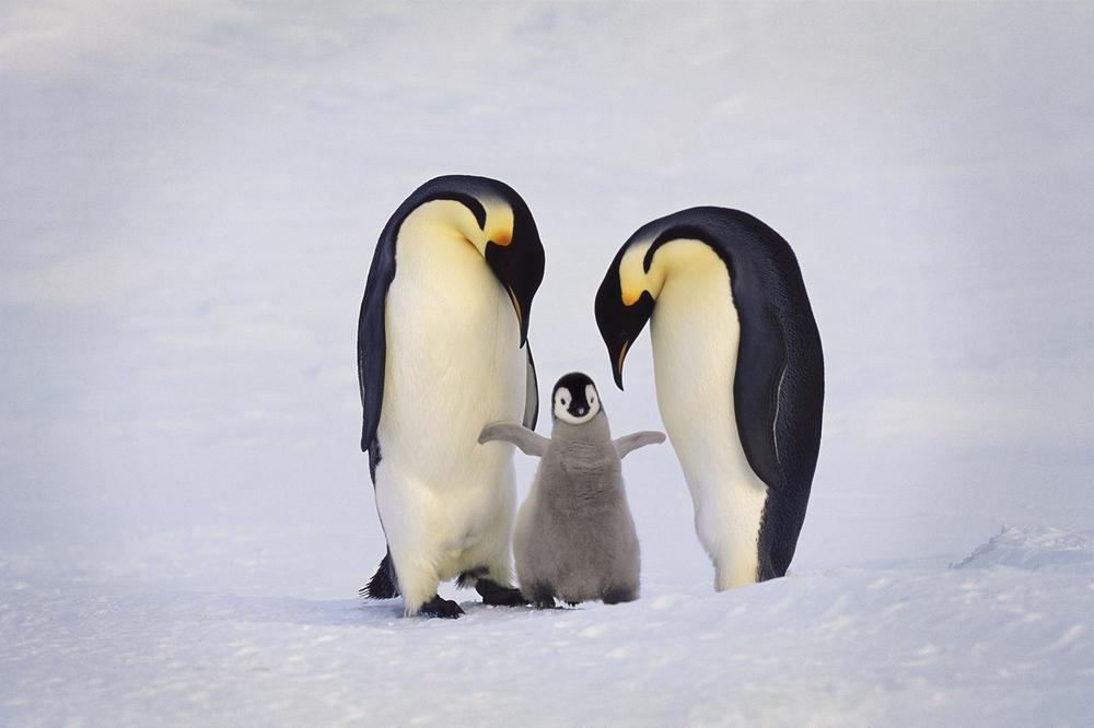 Emperor penguin family, Antarctica /  lanting.com