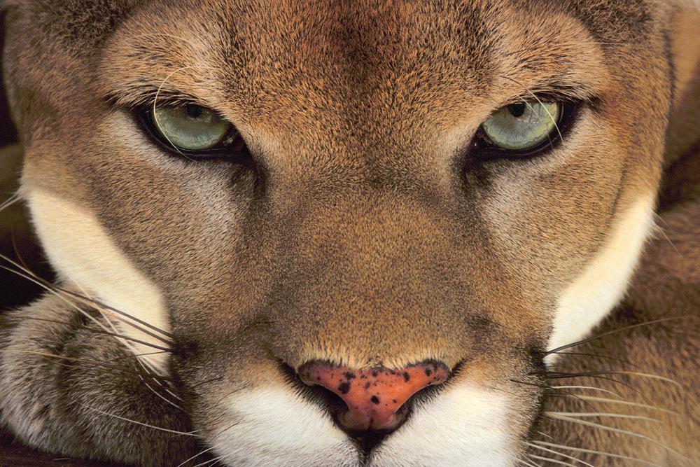 Cougar face, Belize /  lanting.com