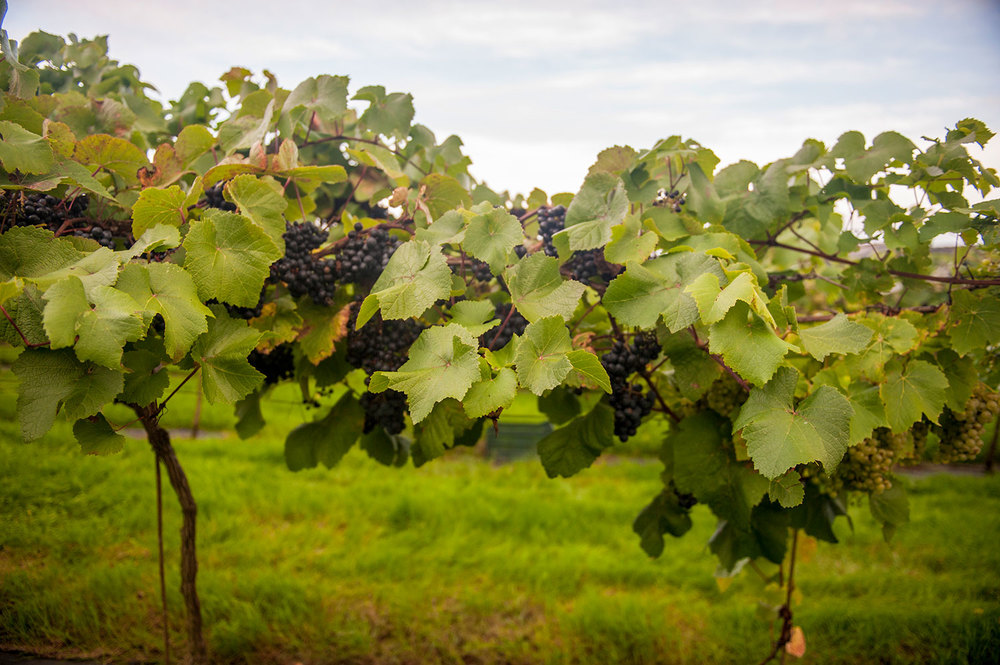 Pebblebed-Vineyard-with-Geoff-Bowen-(7).jpg