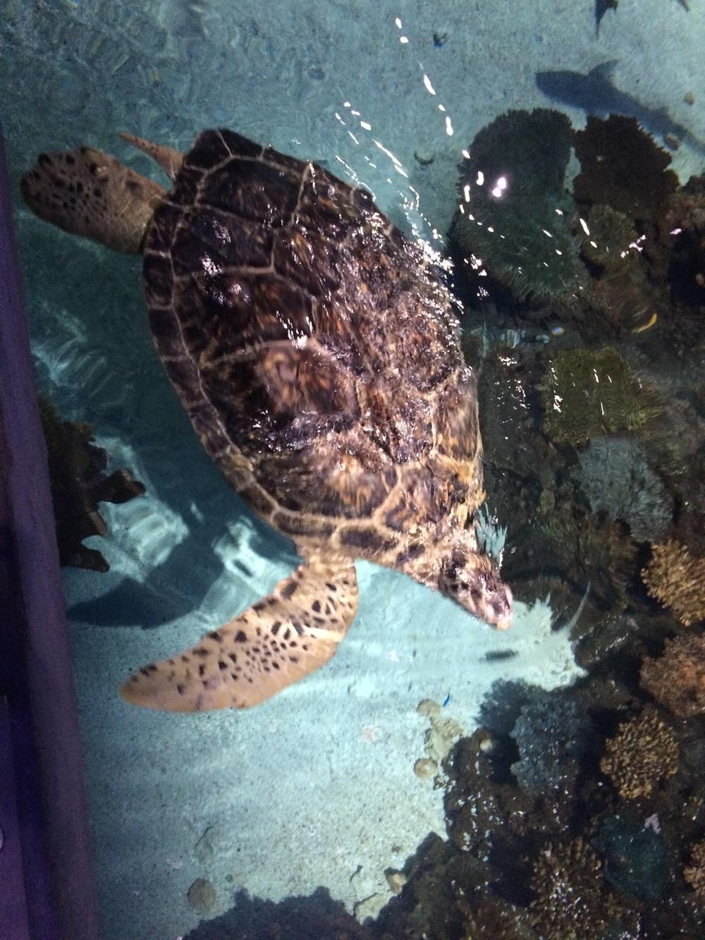 Calypso the turtle